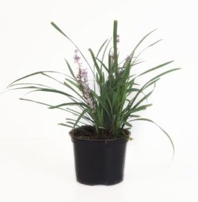 Liriope muscari 'Big Blue' pot 2 liter