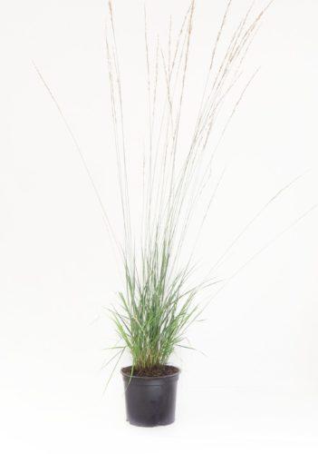 Molinia caerulea 'Heidebraut' pot 2 liter