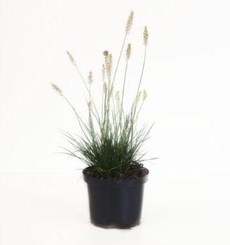 Pennisetum alopecuroides 'Little Bunny' pot 2 liter