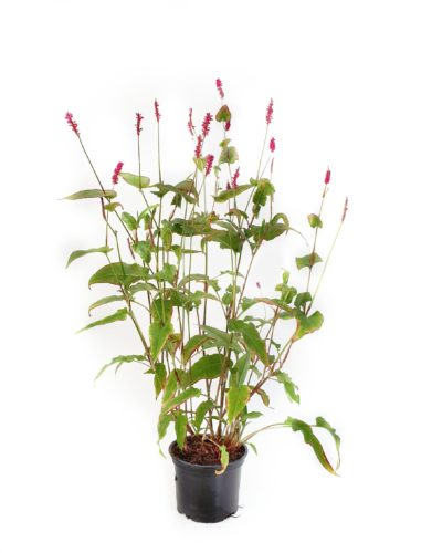 Persicaria amplexicaulis 'Fat Domino' pot 2 liter