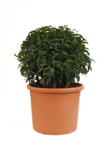 Prunus lusitanica 'Angustifolia' bol 50 cm