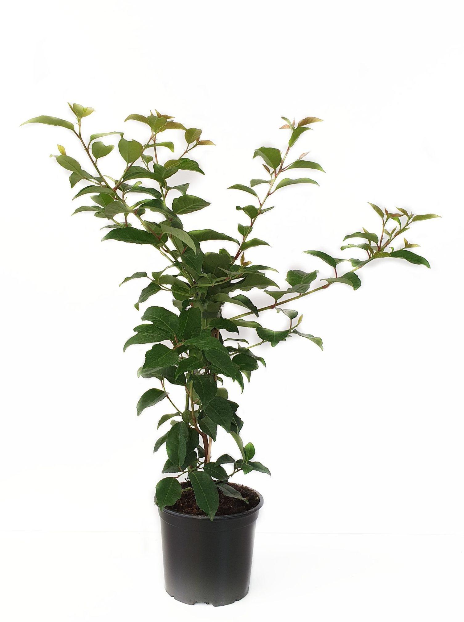 Prunus lusitanica 'Tico' pot 3 liter 50/60 cm