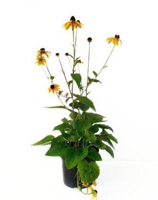 Rudbeckia fulgida 'Goldsturm' pot 3 liter