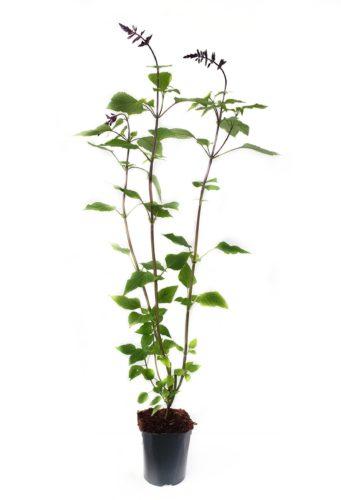 Salvia 'Amistad' pot 3 liter