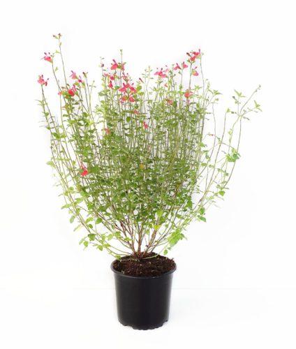 Salvia microphylla 'Hot Lips' pot 3 liter
