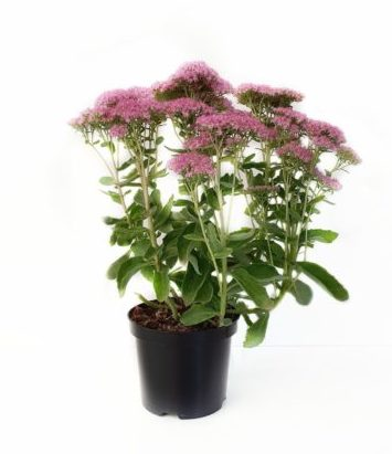 Sedum 'Carl' pot 3 liter