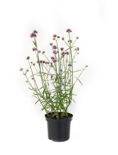 Verbena bonariensis 'Lollipop' pot 3 liter