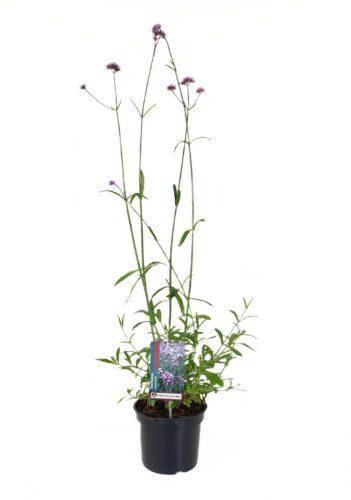 Verbena bonariensis pot 3 liter