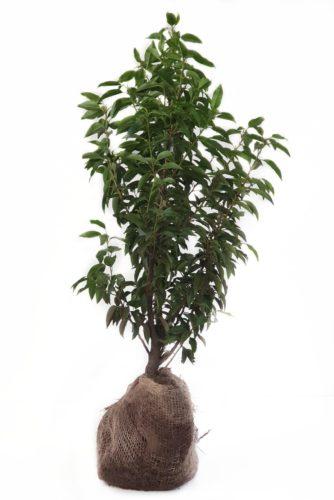 Prunus lusitanica 'Angustifolia' 60/80 cm