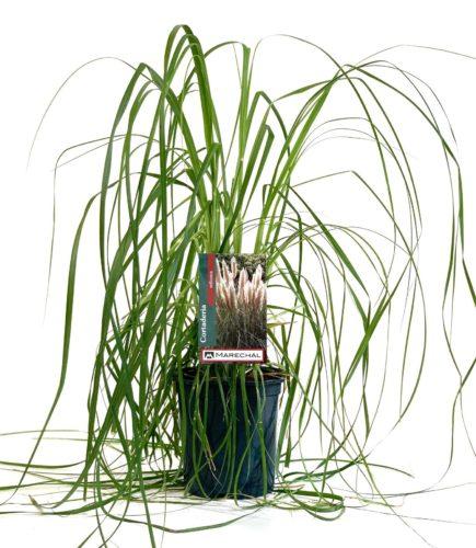 Cortaderia selloana pot 3 liter