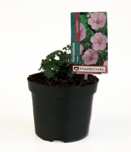 Geranium sanguineum 'Apfelblüte' pot 2 liter