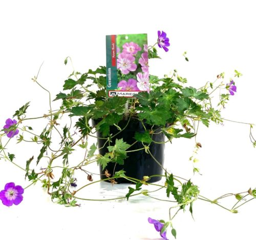 Geranium 'Azure Rush' pot 3 liter