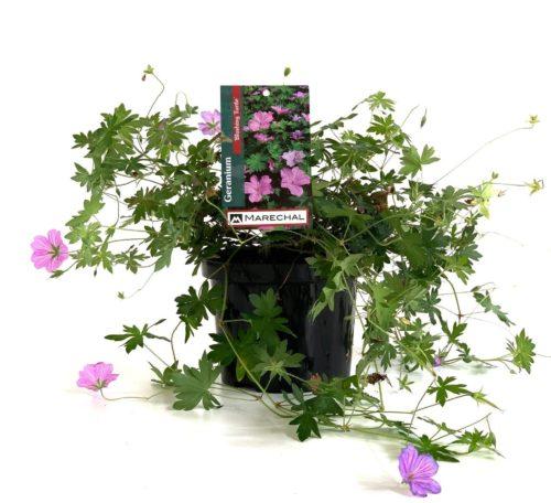 Geranium 'Blushing Turtle' pot 3 liter