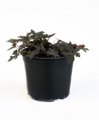 Geranium maculatum 'Espresso' pot 3 liter