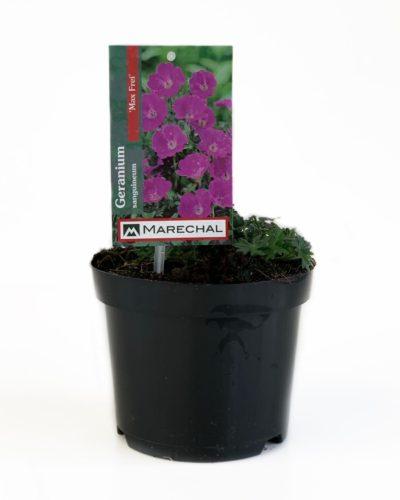 Geranium sanguineum 'Max Frei' pot 2 liter
