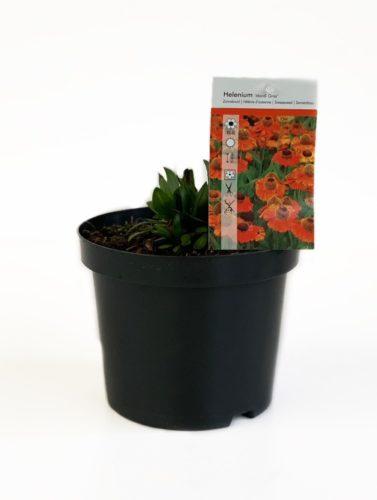 Helenium 'Mardi Grass' pot 3 liter