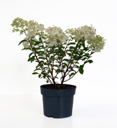 Hydrangea paniculata 'Bobo' pot 2 liter