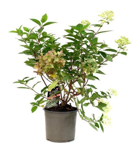 Hydrangea paniculata 'Dahruma' pot 3.5 liter