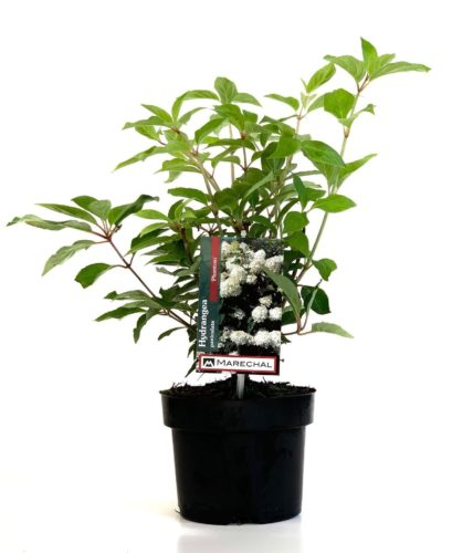 Hydrangea paniculata 'Phantom' pot 2 liter