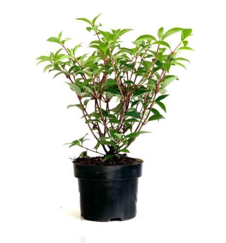 Hydrangea paniculata 'Vanille Fraise' pot 2 liter