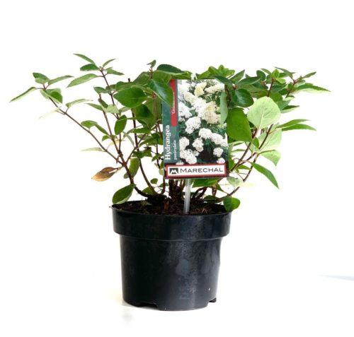 Hydrangea paniculata 'Grandiflora' pot 2 liter