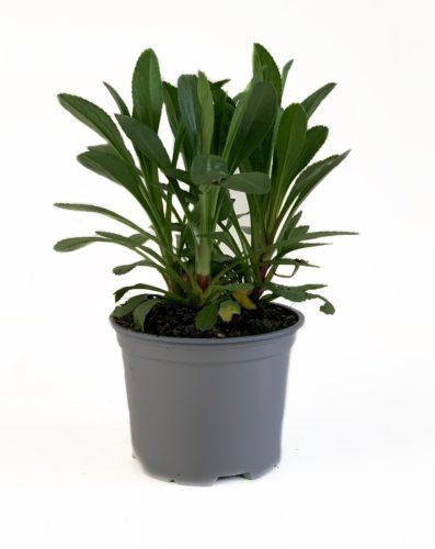 Leucanthemum 'Becky' pot 3 liter