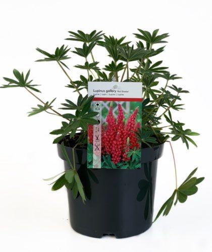 Lupinus rood pot 3 liter