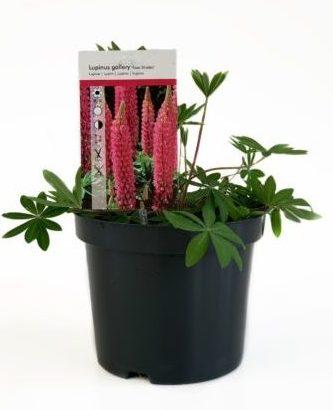 Lupinus roze pot 3 liter