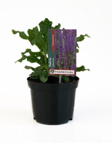 Salvia nemerosa 'Ostfriesland' pot 3 liter