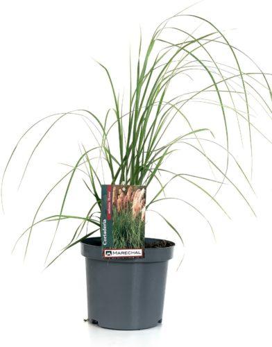 Cortaderia selloana 'Rosea' pot 3 liter