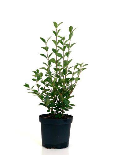Ligustrum ovalifolium pot 1 liter 25/30 cm
