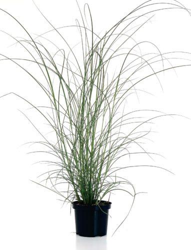 Miscanthus sinensis 'Gracillimus' pot 2 liter