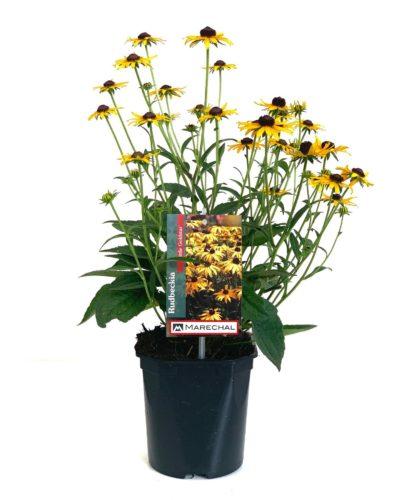 Rudbeckia fulgida 'Little Goldstar' pot 2 liter